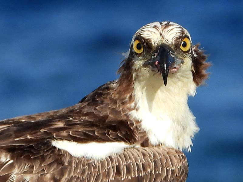 An Osprey on a perch.