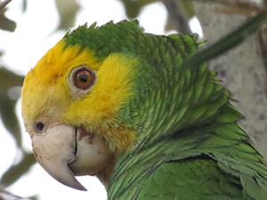 A portrait of a Yellow-shouldered Parrot.