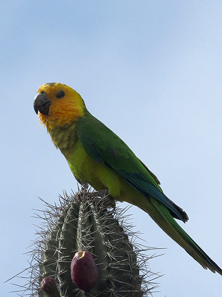 The Brown-throated Parakeet on Bonaire