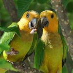 A pair of Brown-throated Parakeets, found on Bonaire.