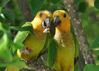 Yellow-Shouldered Parrot? Brown-Throated Parakeet?