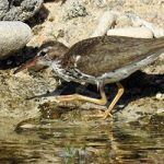 The Spotted Sandpiper, commonly found on Bonaire.