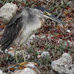 The rare, Striated Heron stands to preen itself.