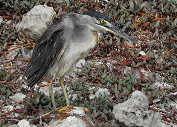The Rare Striated Heron Observed on Bonaire