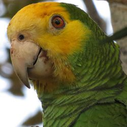 Portrait of Bonaire's Yellow-shouldered Amazon Parrot.
