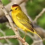 The Yellow Warbler is often sighted on Bonaire.