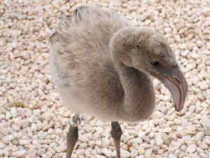 A young flamingo is cared for by Bonaire Wild Bird Rehab.