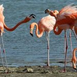 The American Flamingo is Bonaire's iconic bird.