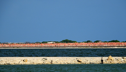 Flamingos gather together in the breeding colony on Bonaire.