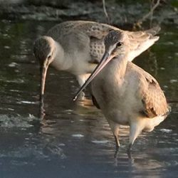 A pair of Hudsonian Godwits make a rest stop on Bonaire during their fall migration.
