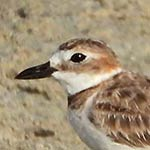 The Wilson's Plover can be found nesting on Bonaire.