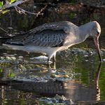 A Hudsonian Godwit feeds in a rain-water pond on Bonaire.