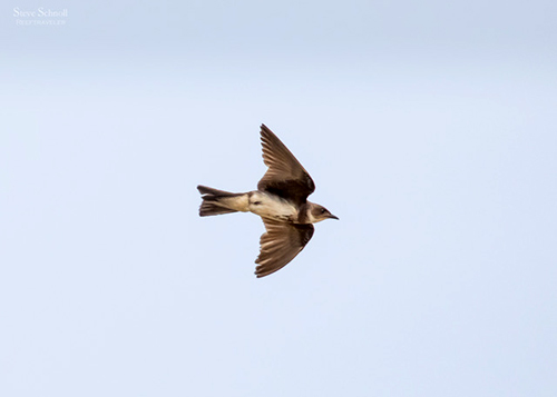 Brown-chested Martin; image copyright Steve Schnoll.