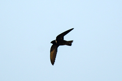 White-collared Swift; image copyright Martijn Hickmann.