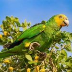 Bonaire's Yellow-shouldered Parrot