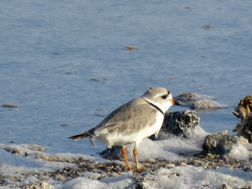 Piping Plover.