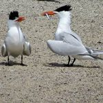 Feeding fish is an important component of tern courtship.
