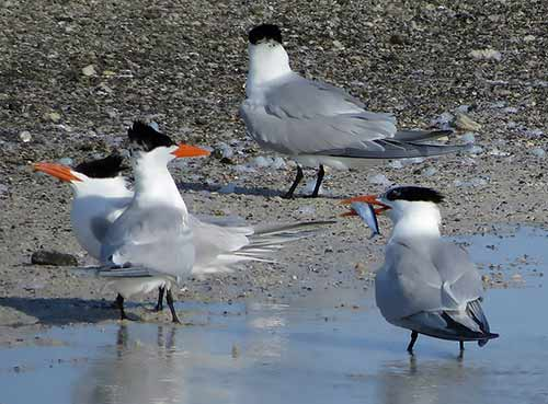 A male Royal Tern offers a fish in a courtship display.