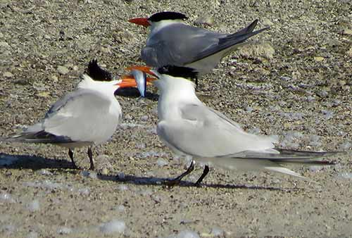 A male Royal Tern offers a fish in courtship display.