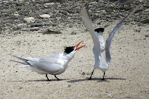 Disputes can break out between male terns during the breeding season.