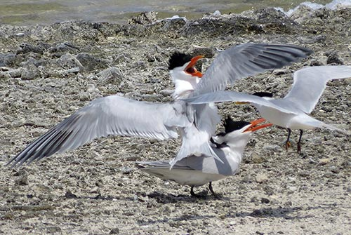 Courtship and mating behaviors of terns.