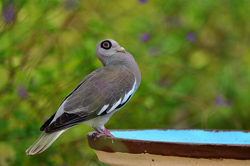 A Bare-eyed Pigeon visits the garden's bird bath.