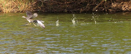 White-winged Tern chasing Common Gallinule.