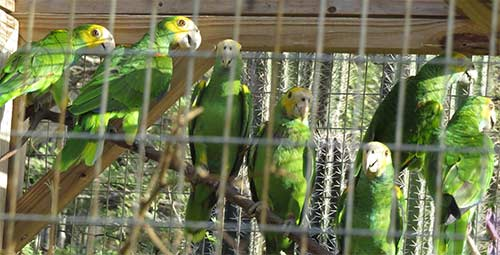 7 Yellow-shouldered Parrots await their release.