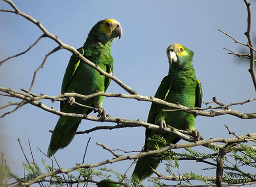 Yellow-shouldered Parrots assess their new habitat after release.