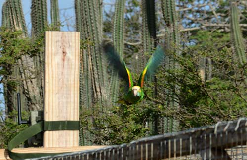 A Yellow-shouldered Parrot flies without restrictions for the first time.