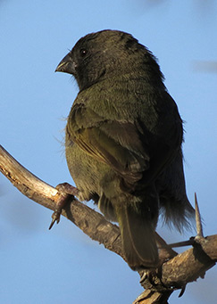 Black-faced Grassquit