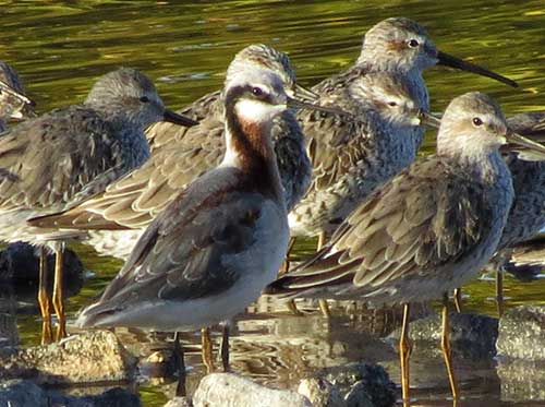 Wilson's Phalarope in breeding plumage