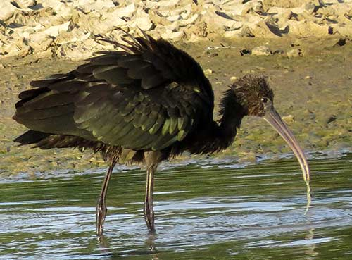 A Glossy Ibis fishes in a wetland on Bonaire.