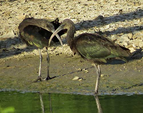 Two Glossy Ibises forage in a Bonaire wetland.