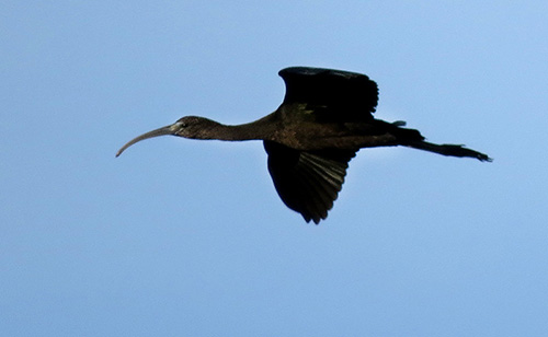 A Glossy Ibis in flight.