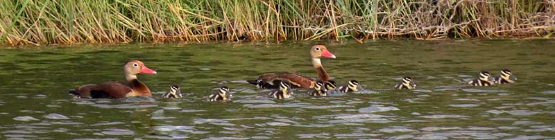 Black-bellied Whistling Ducks with ducklings at Bonaire's freshwater wetlands.