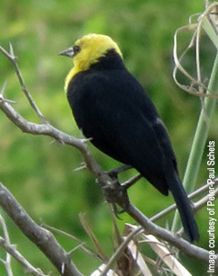 Yellow-hooded Blackbird