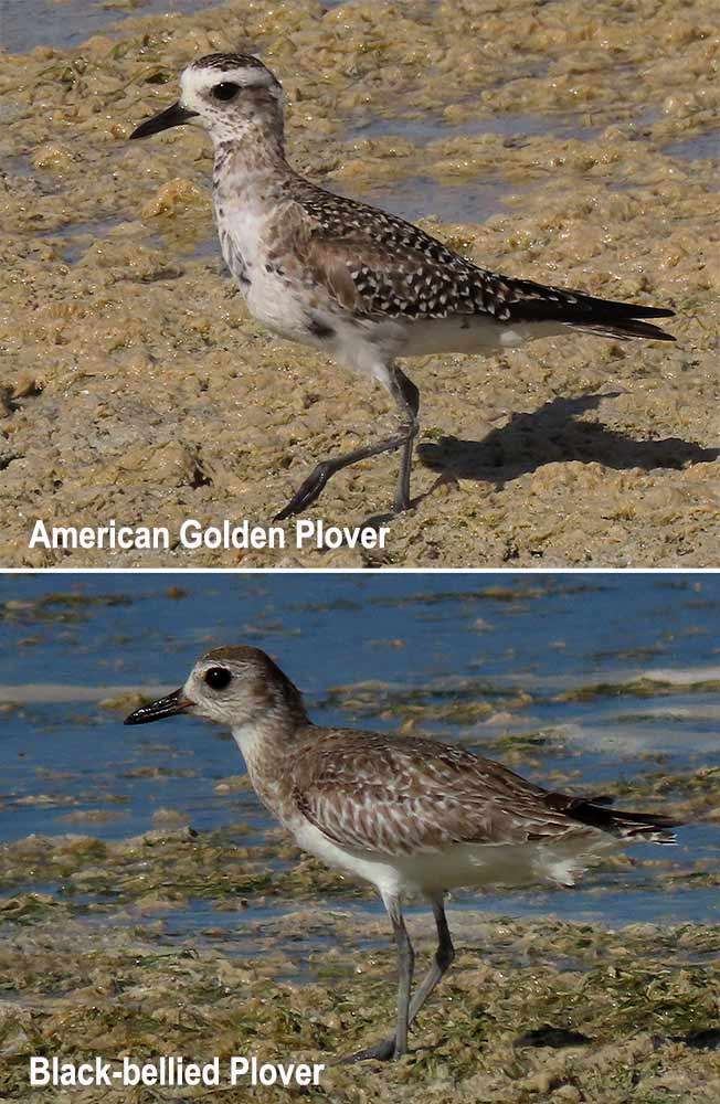 Comparison of the American Golden Plover and a similar species, the Black-bellied Plover.