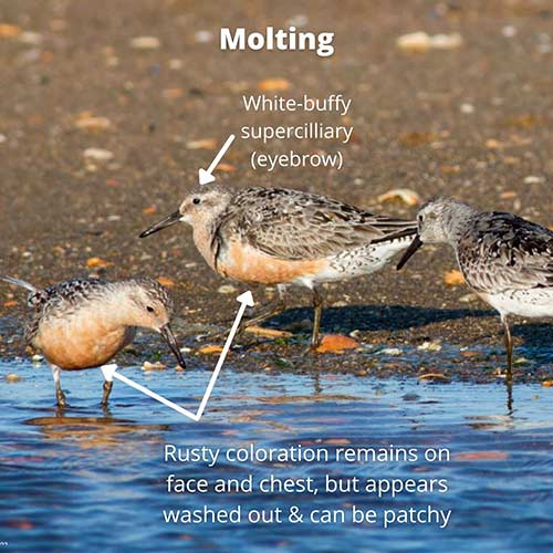 Red Knot, molting between breeding and non-breeding plumages.