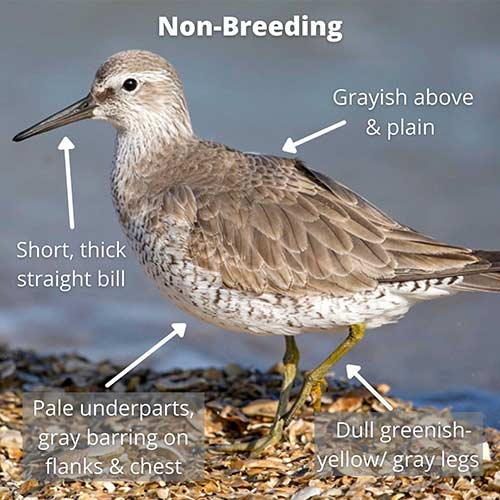 Red Knot, non-breeding plumage