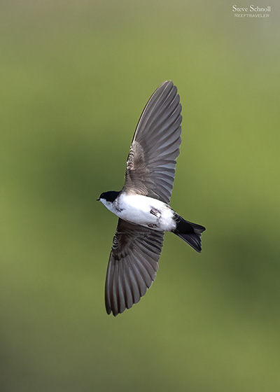 Blue-and-white Swallow, image by Steve Schnoll.